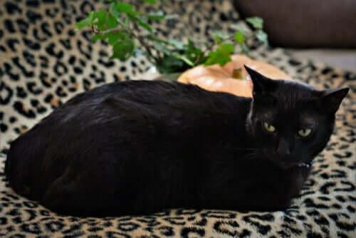 O bobtail japonês, o gato da sorte