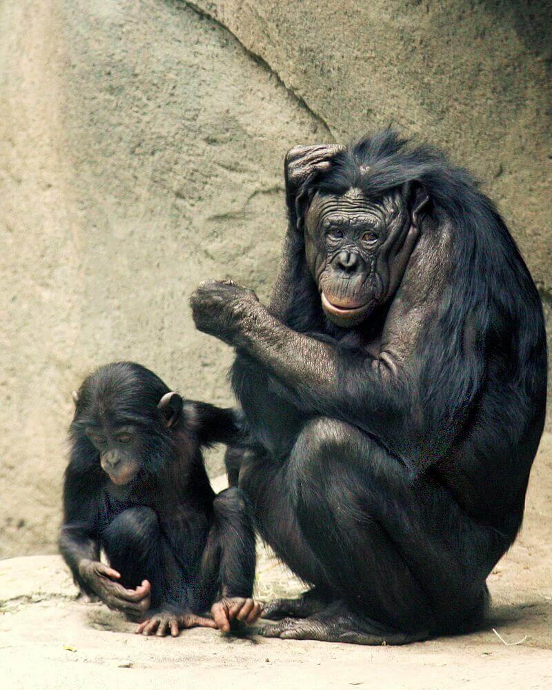 Macacos bonobo