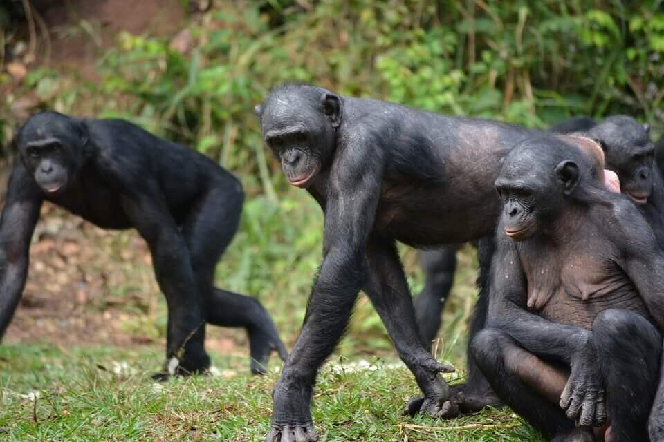 Comportamento dos bonobos