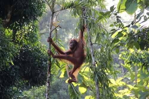 Orangotango em floresta
