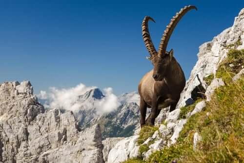 Comportamento e reprodução do íbex
