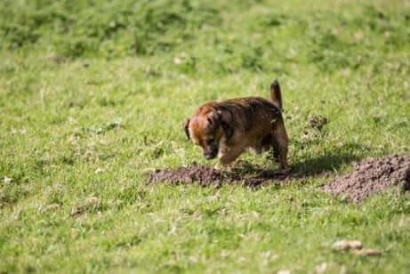 Cachorro cavando buraco em jardim