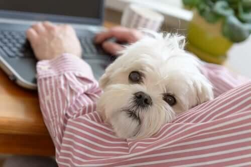 Desvantagens de ir trabalhar com o seu cachorro