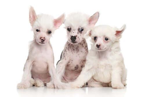 Filhotes de cão de crista chinês