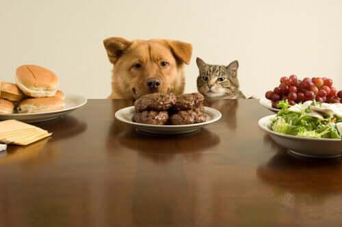 Cão e gato observando hambúrgueres