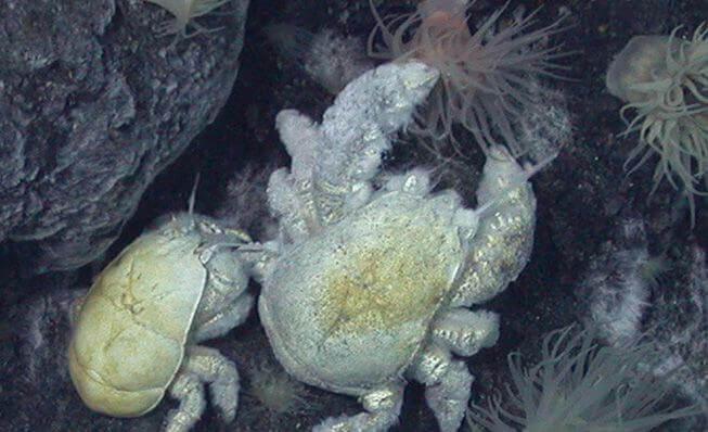 Caranguejo-yeti no fundo do mar