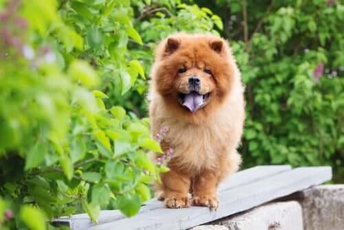 Cães que resistem melhor ao frio: chow chow