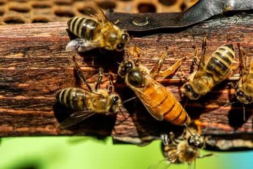 Como é a reprodução da abelha-rainha?