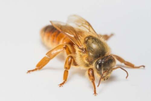 Como uma larva se torna a abelha rainha?