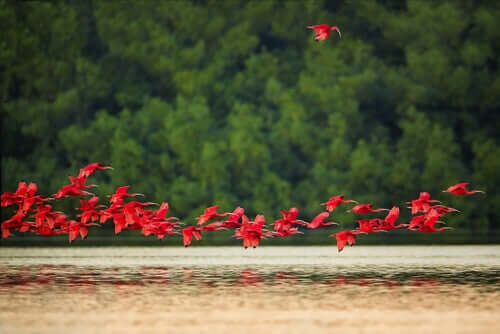 Comportamento e reproduçãodo guará-vermelho