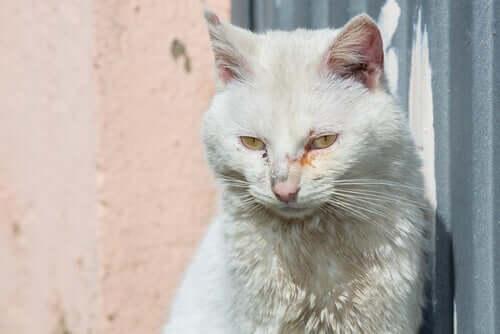 Gato com o olho arranhado