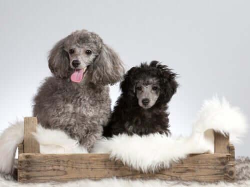 A cor do pelo do cachorro pode indicar doenças