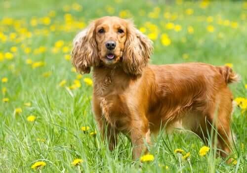 Cuidados demandados por cachorros de orelhas longas