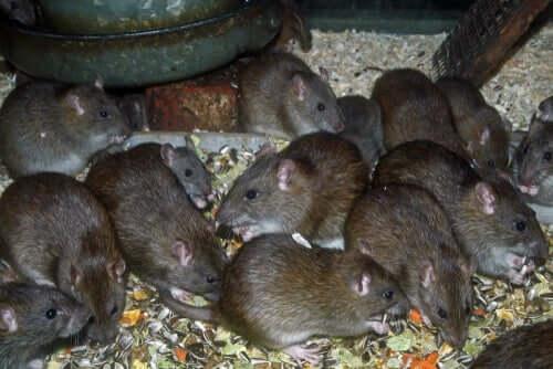 A alimentação dos ratos marrons