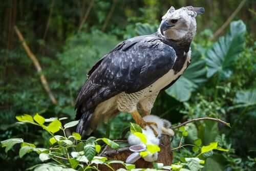 O gavião-real: habitat e características