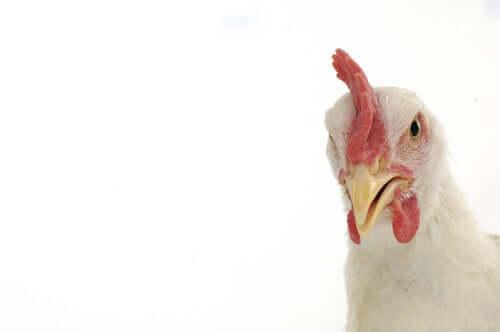 Novo surto de gripe aviária
