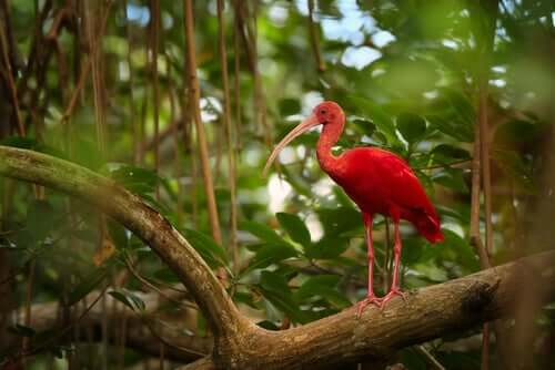 O guará-vermelho e as suas características