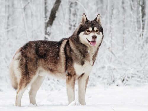 As 12 raças de cães que resistem melhor ao frio