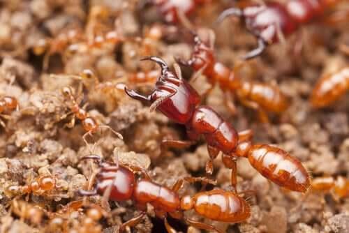 A eussociedade e a reprodução das formigas