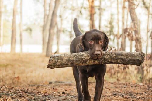 O labrador marrom e sua saúde particularmente frágil