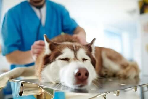 Cachorro sendo examinado no veterinário