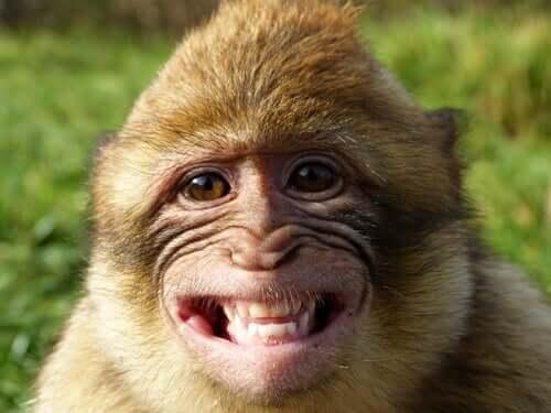 Macaco sorrindo