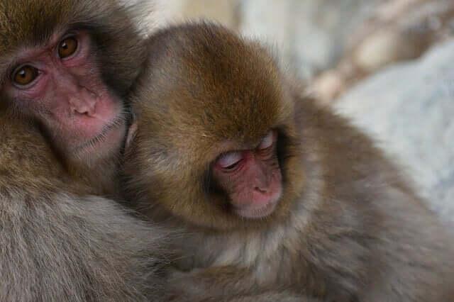 Comportamento e conservação do macaco-japonês