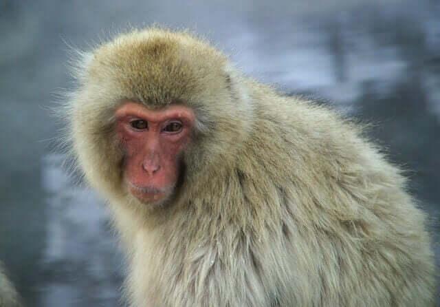 Macaco-japonês: informações e características
