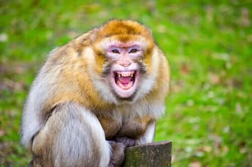 Os turistas não entendem os macacos