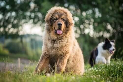 Cães que resistem melhor ao frio: mastim tibetano