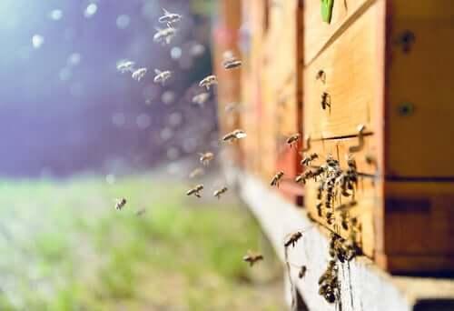 Descoberto novo medicamento para abelhas