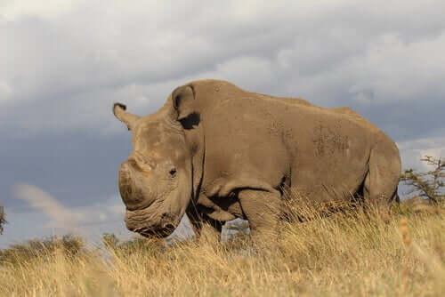 Rinoceronte branco ameaçado