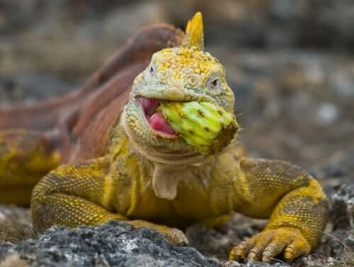 Iguana comendo