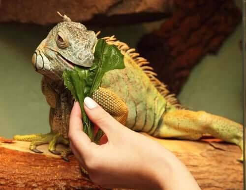 Desequilíbrios nutricionais das iguanas