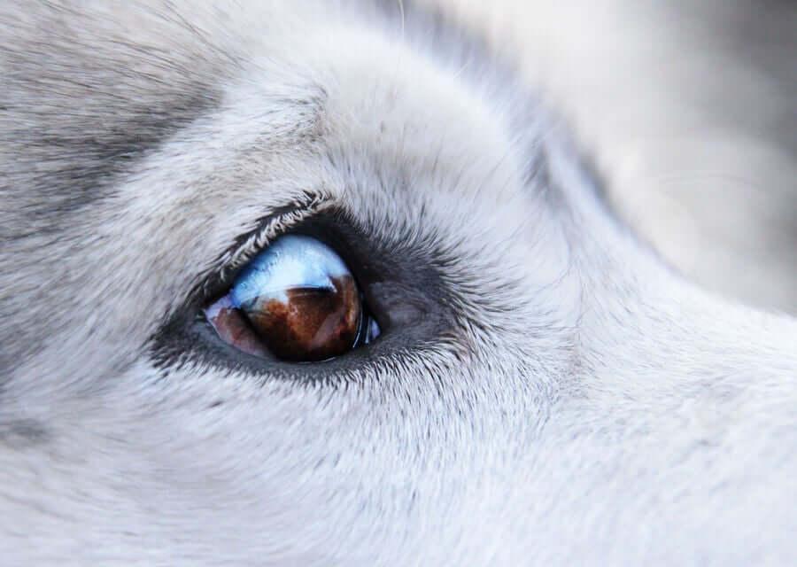 Cachorros com verrugas ao redor dos olhos: tratamentos recomendados