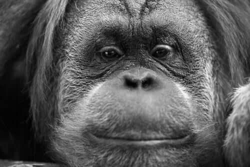 Fêmea de orangotango albina é libertada na natureza