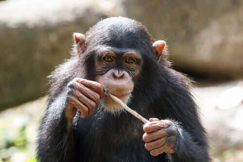 Chimpanzé olhando para foto