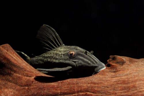 Características do peixe que devora madeira