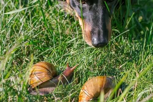 Riscos de deixar os cães comerem caracóis