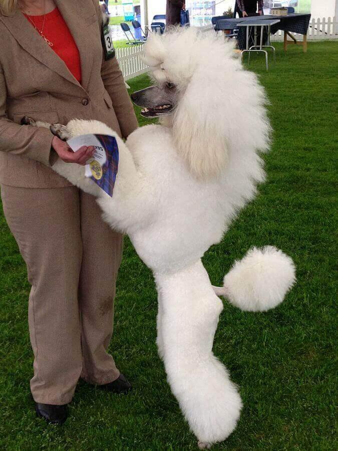 O poodle é um dos cachorros mais sociáveis