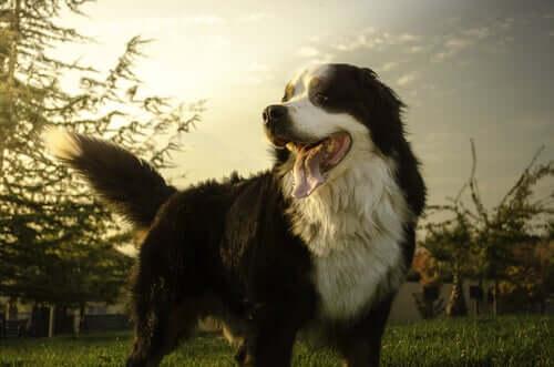 As raças de cães que mais sofrem de câncer