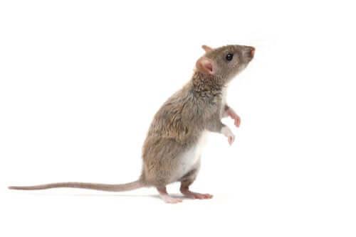 Informações sobre o rato marrom