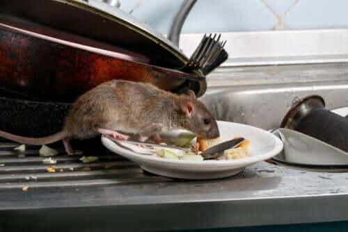 Rato marrom buscando comida