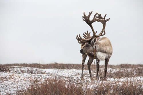 As renas estão desaparecendo?