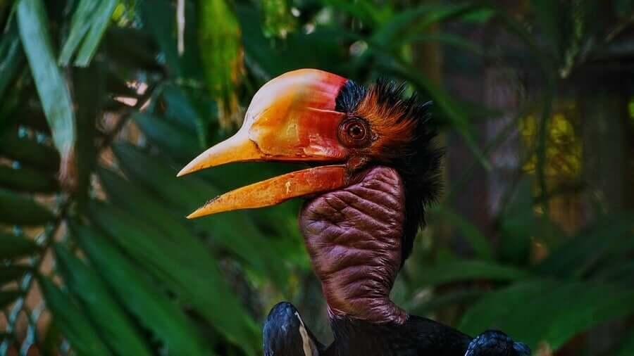 Calau-de-capacete, um pássaro com um bico mais caro que o marfim