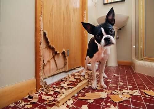 Cachorro destruindo a casa