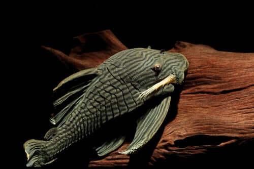 Tudo que você precisa saber sobre o peixe que devora madeira