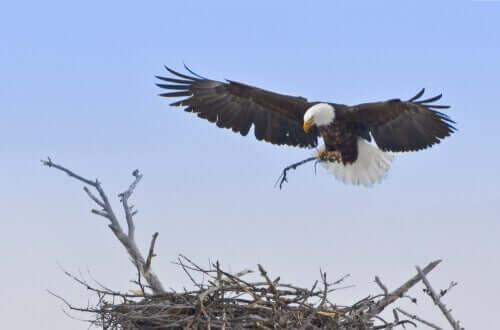 Águia fazendo seu ninho