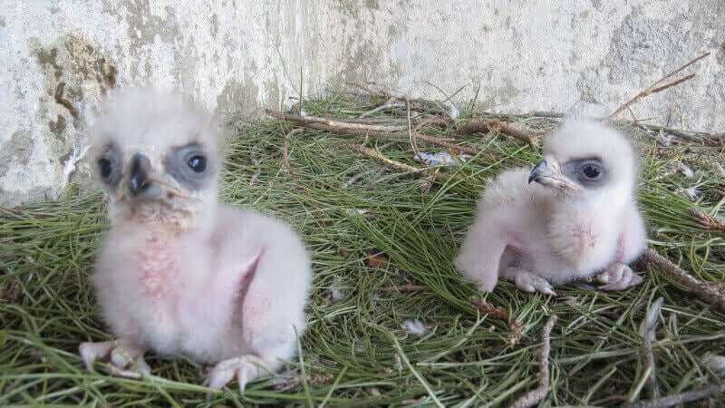 Filhotes de águia em centro de recuperação de animais selvagens