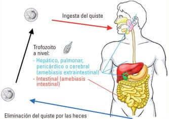 As amebas são parasitas unicelulares